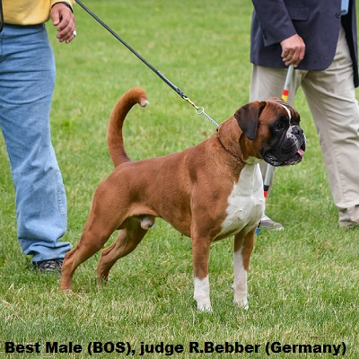 Boxer Good Begginer Dog